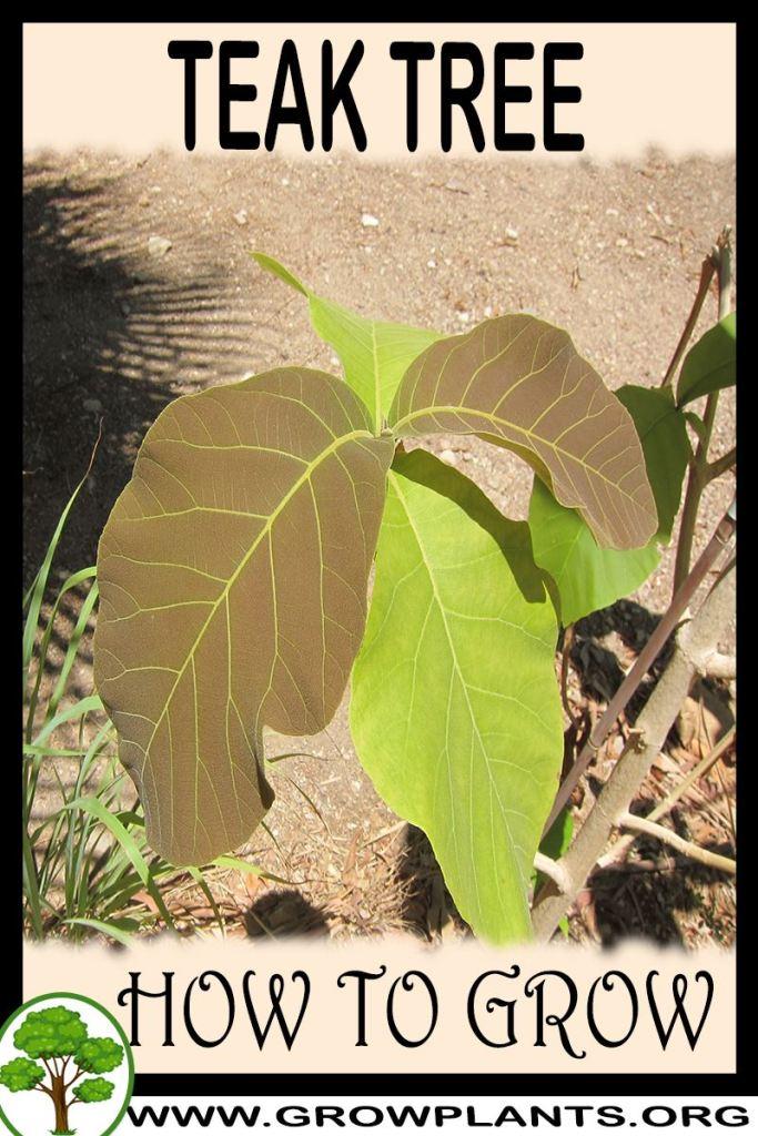 How to grow Teak tree