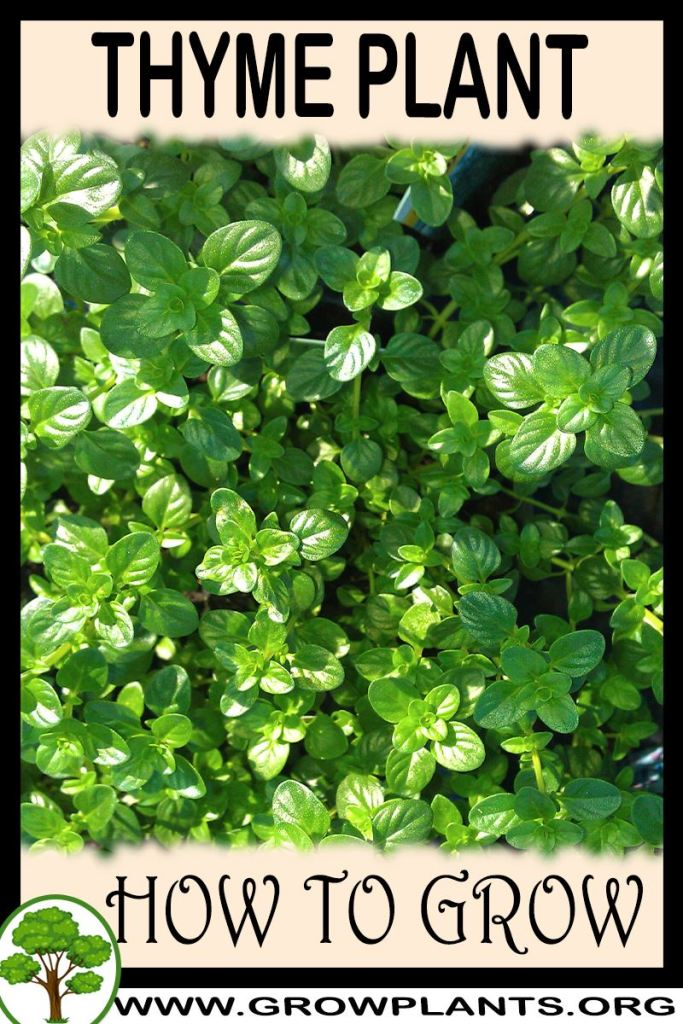How to grow Thyme plant