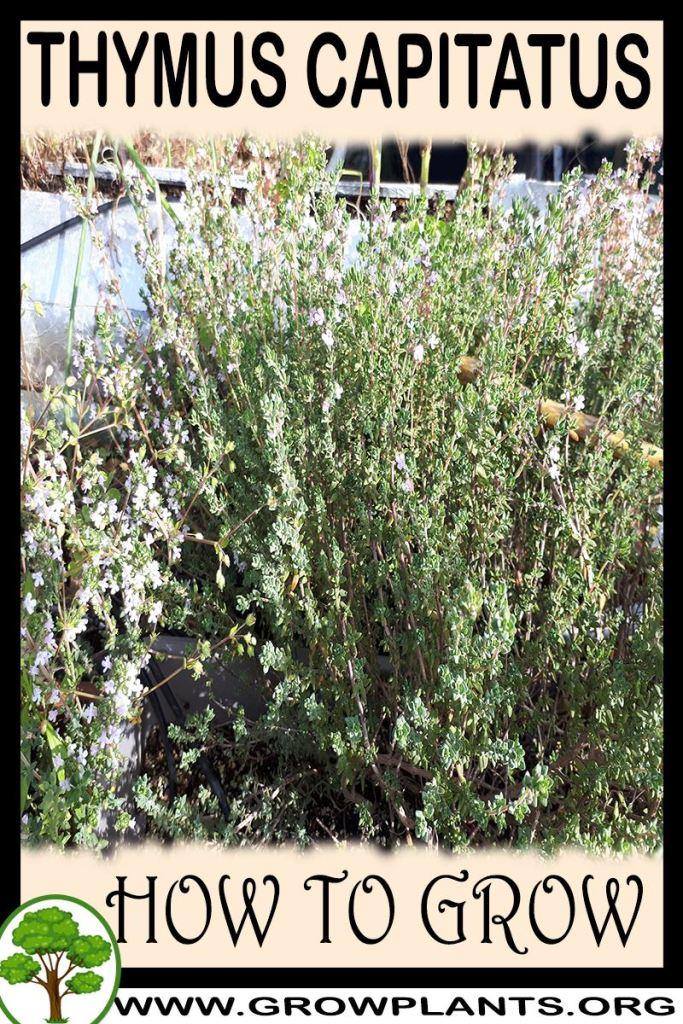 How to grow Thymus capitatus