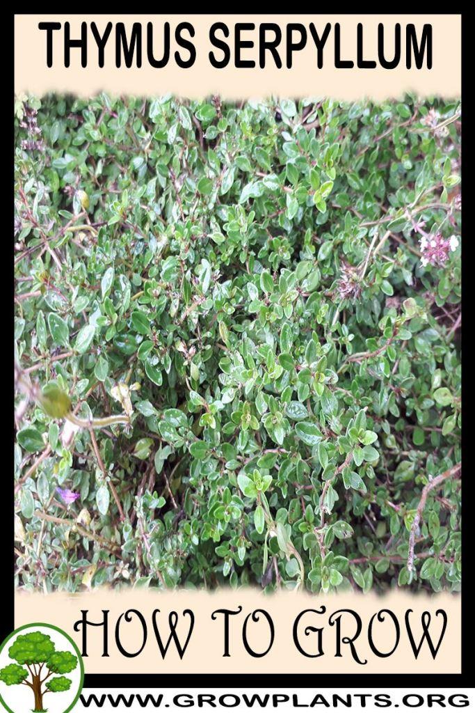 How to grow Thymus serpyllum