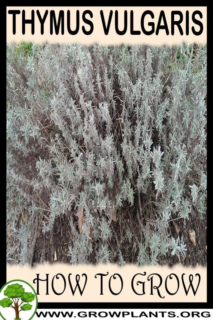 How to grow Thymus vulgaris