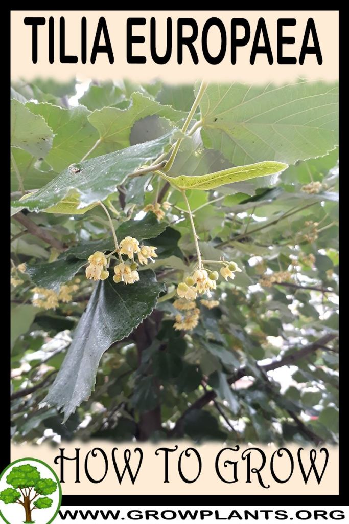 How to grow Tilia europaea