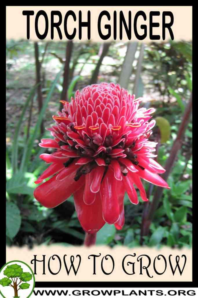How to grow Torch Ginger