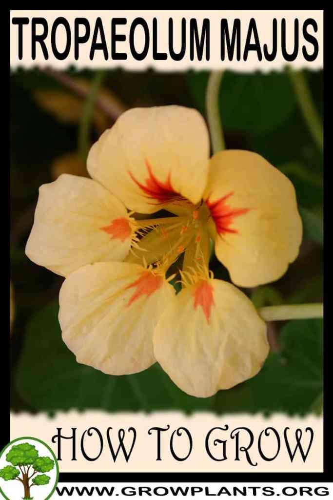 How to grow Tropaeolum majus