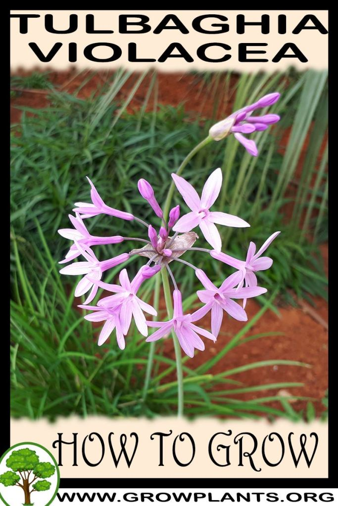 How to grow Tulbaghia violacea