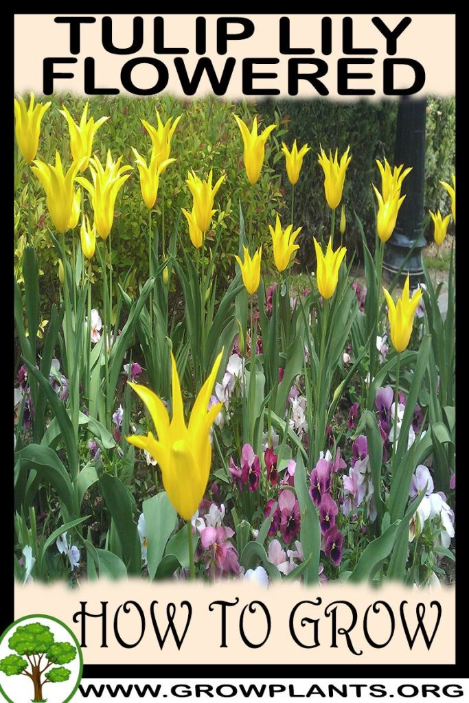 How to grow Tulip lily flowered