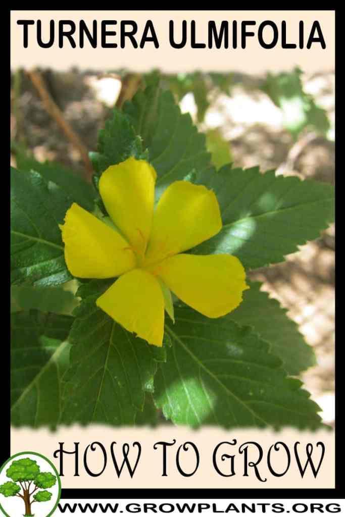 How to grow Turnera ulmifolia