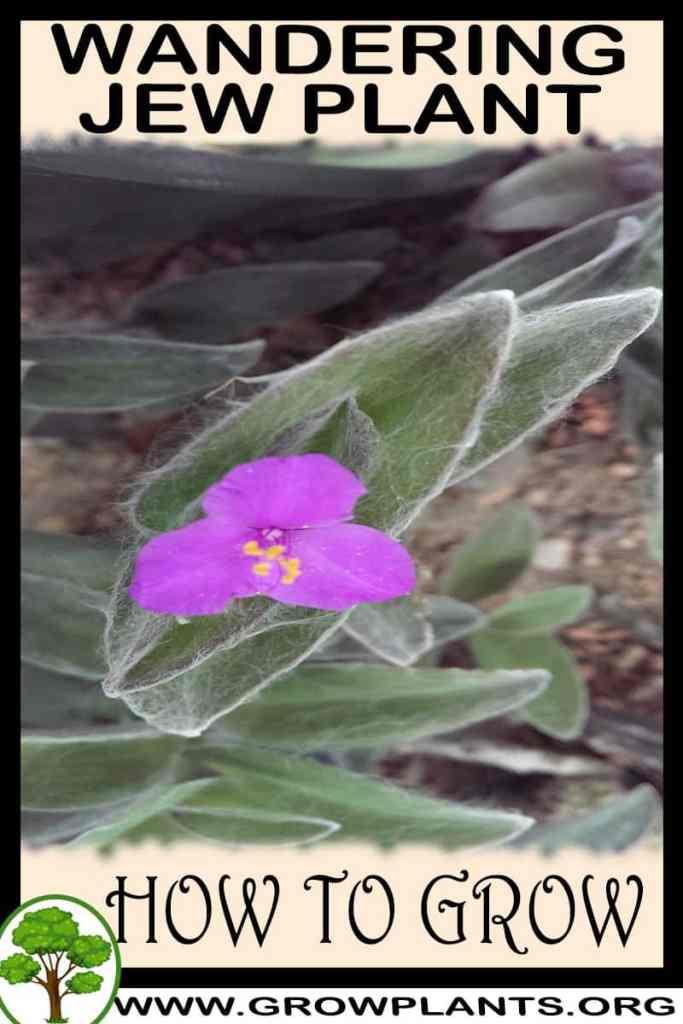 How to grow Wandering jew plant