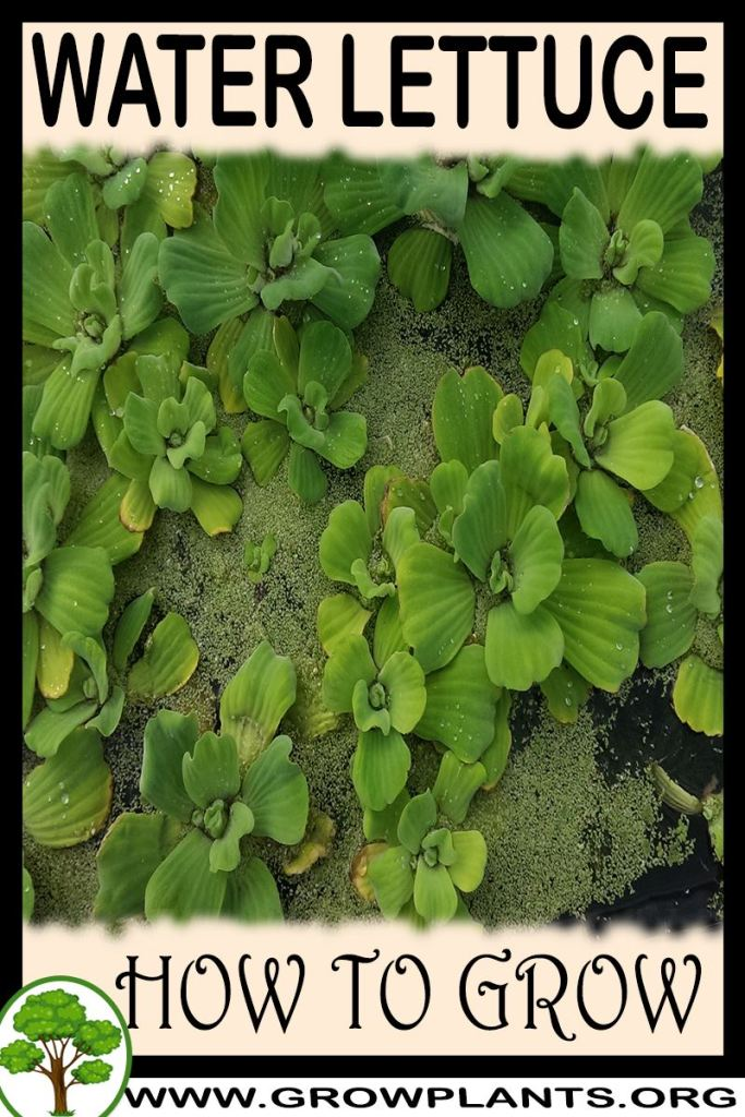 How to grow Water lettuce