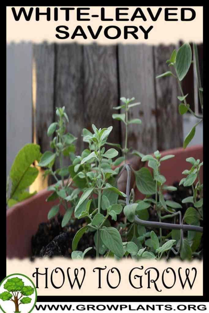 How to grow White leaved Savory