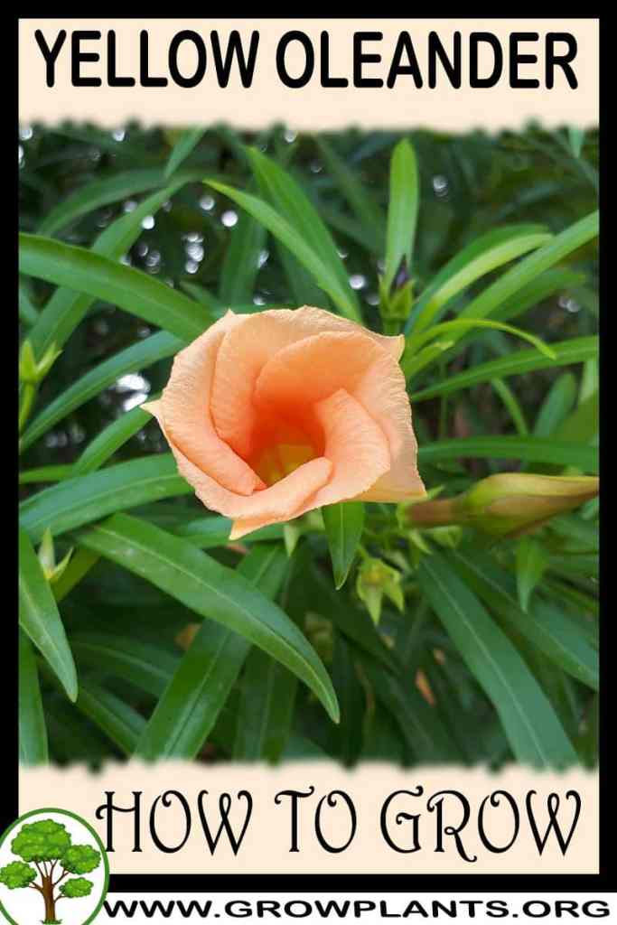 How to grow Yellow oleander