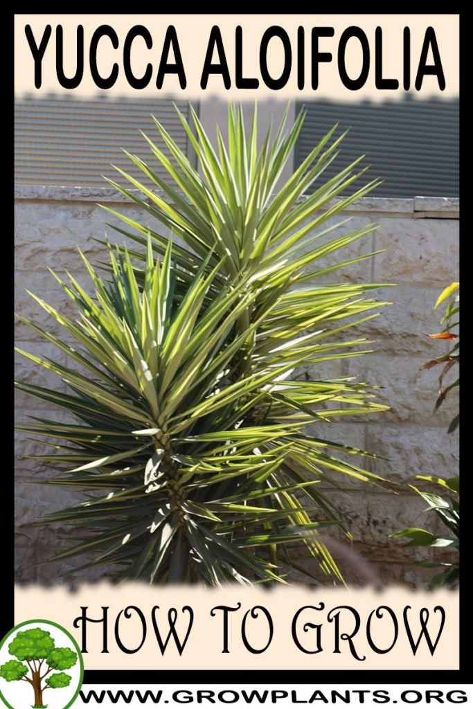 How to grow Yucca aloifolia