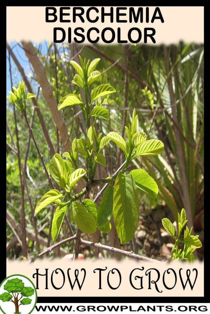 How to grow Berchemia discolor