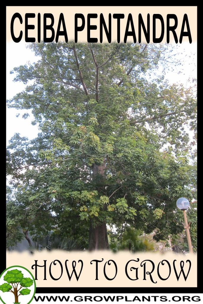 How to grow ceiba pentandra