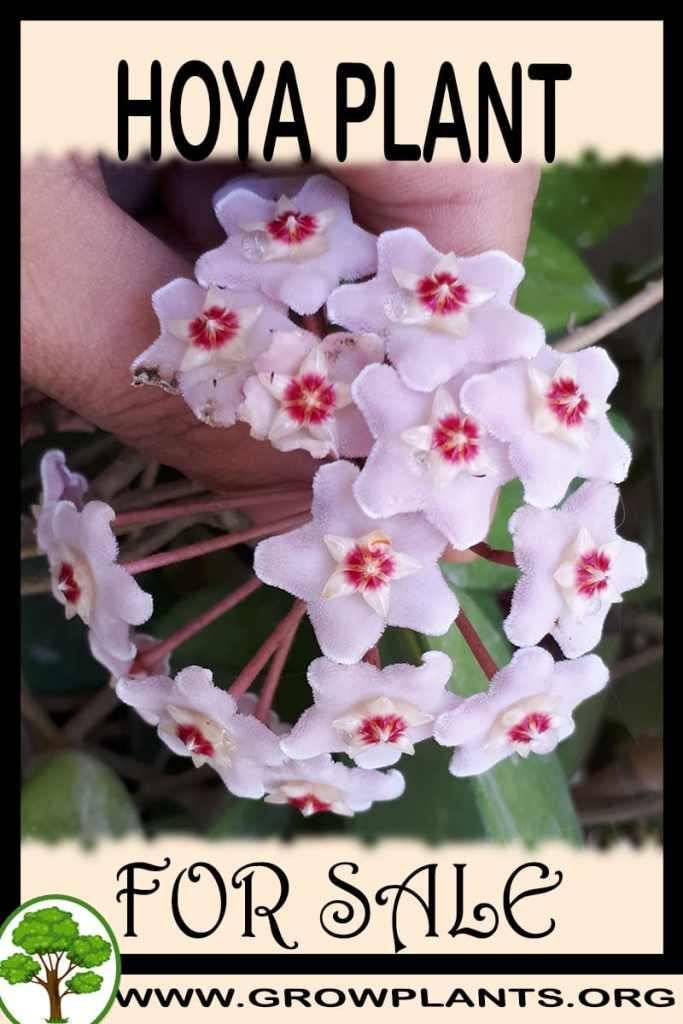 Hoya plant for sale