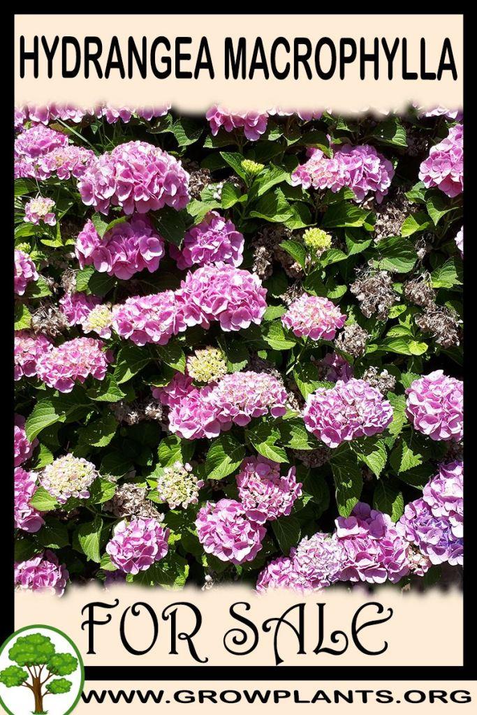 Hydrangea macrophylla for sale