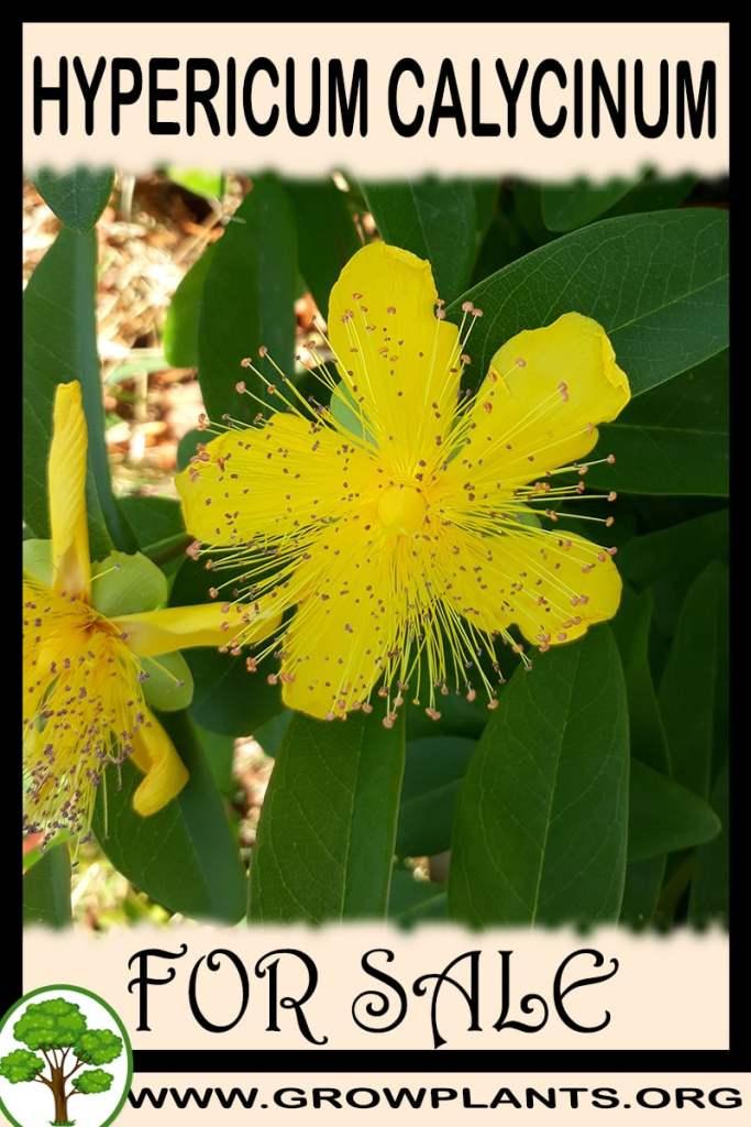 Hypericum calycinum for sale