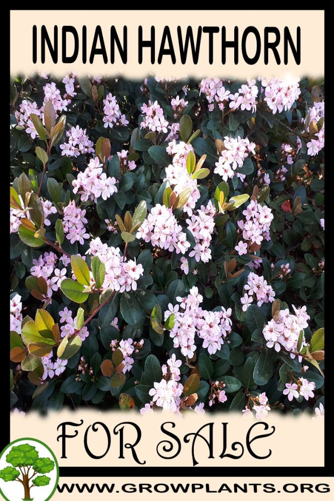 Indian hawthorn tree for sale