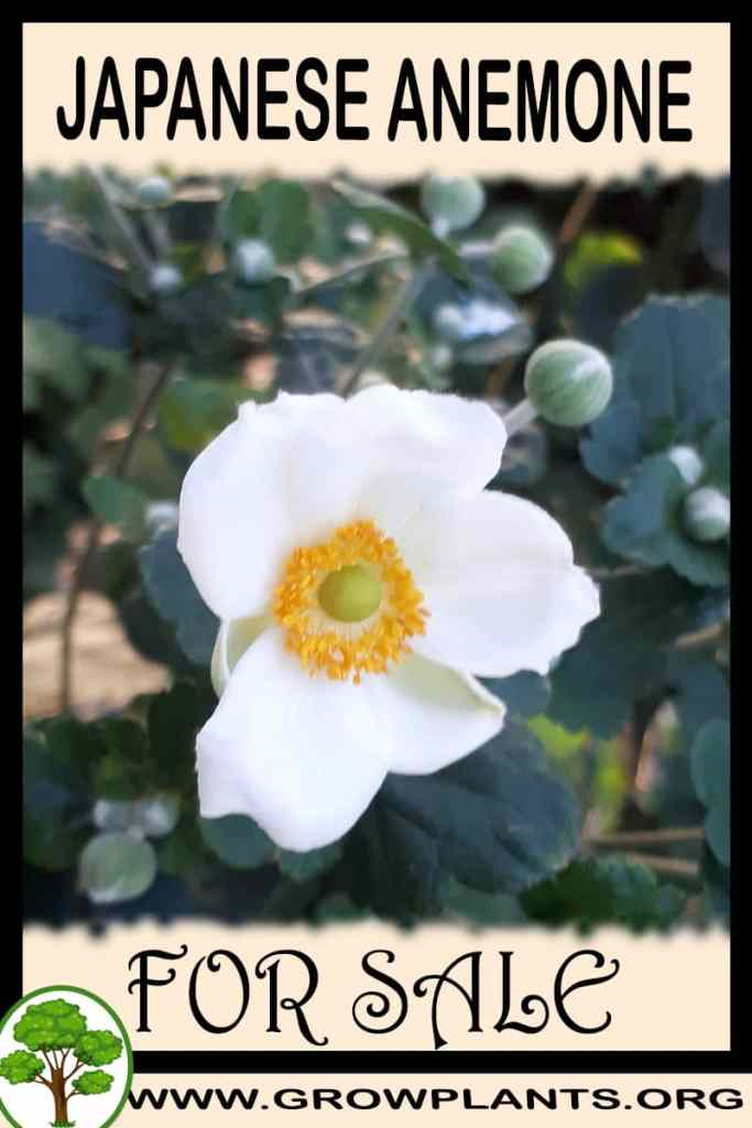 Japanese anemone for sale