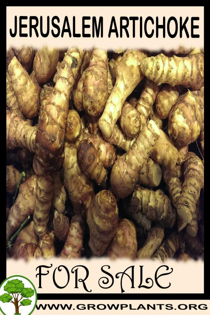 Jerusalem artichoke for sale