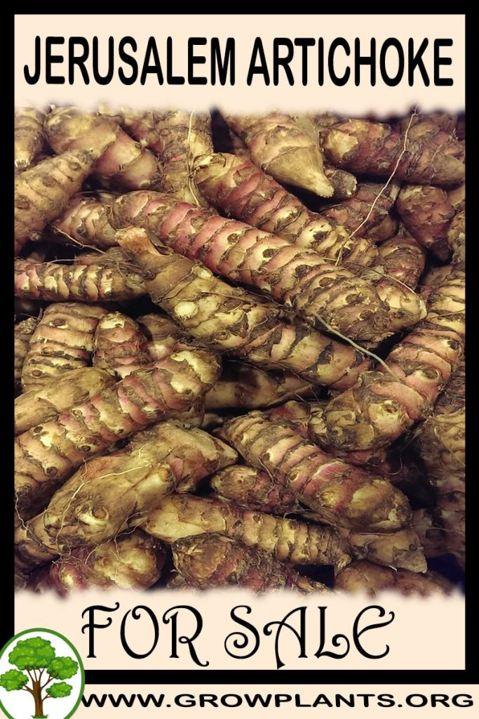 Jerusalem artichoke tubers for sale