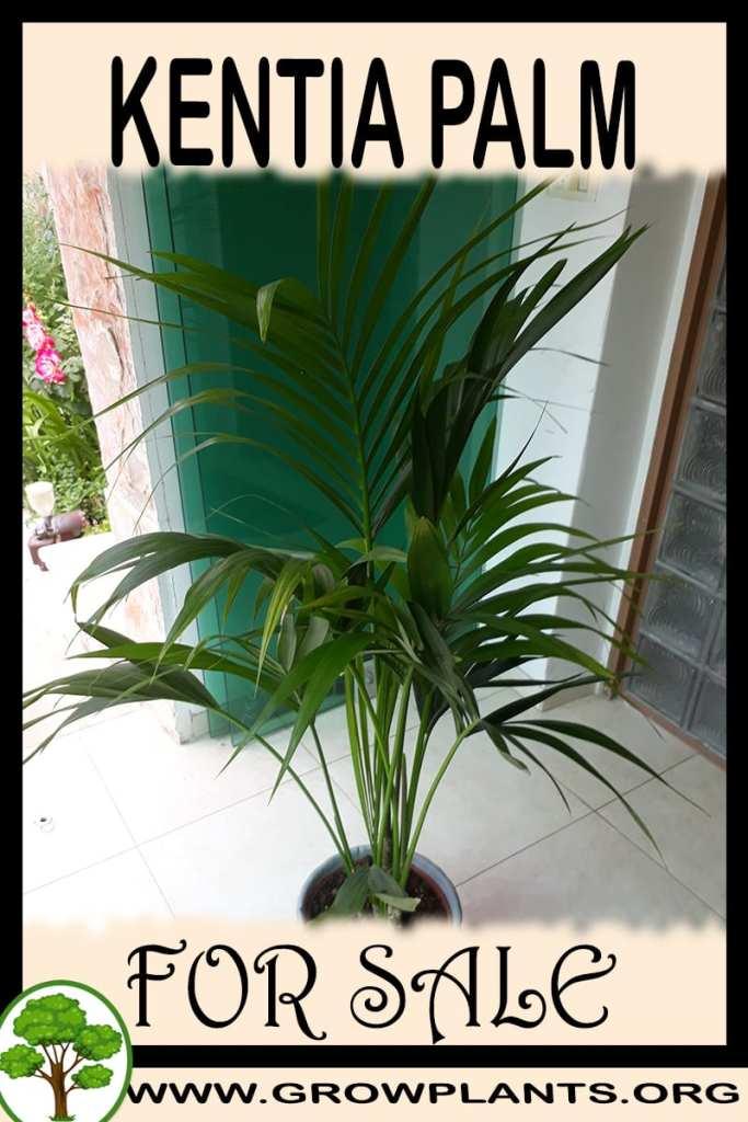 Kentia palm for sale