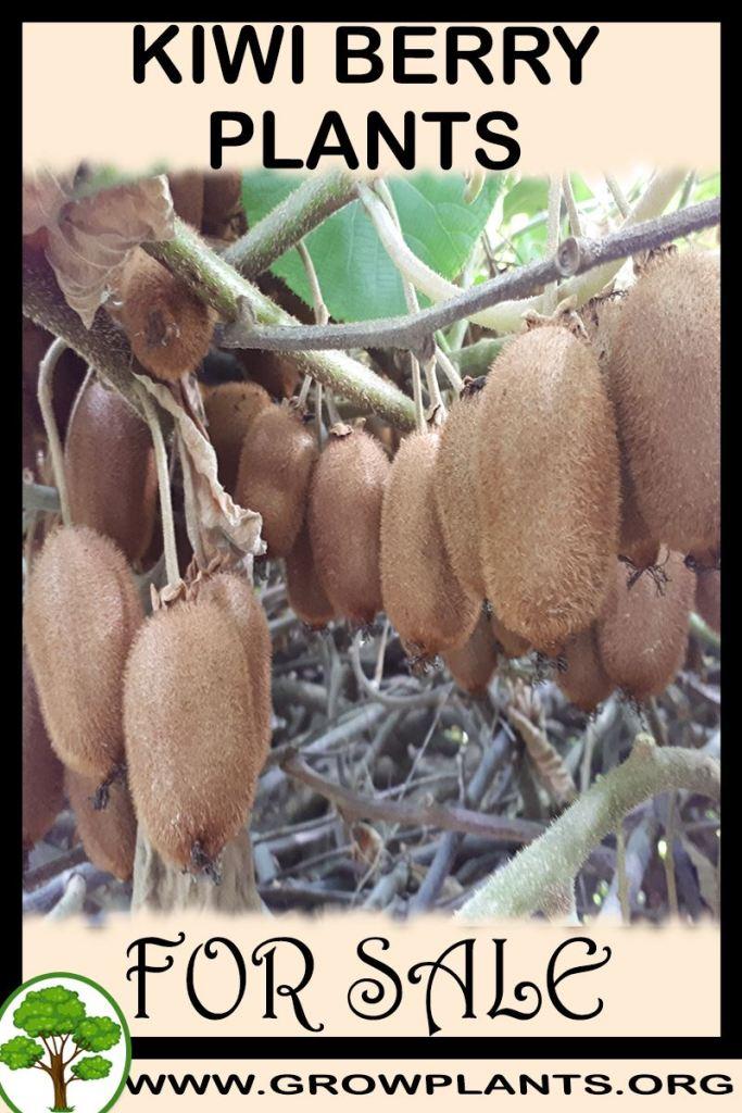 Kiwi berry plants for sale
