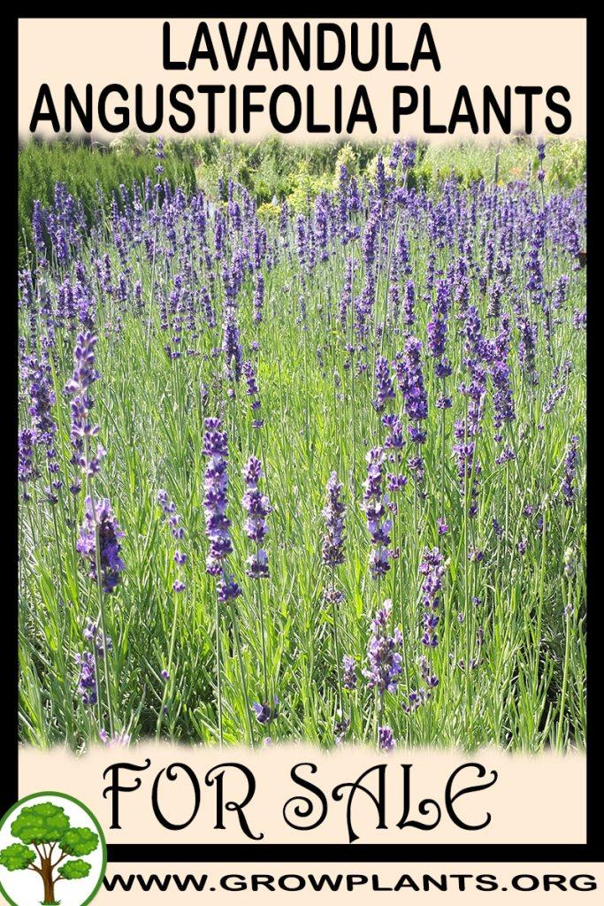 Lavandula angustifolia plants for sale