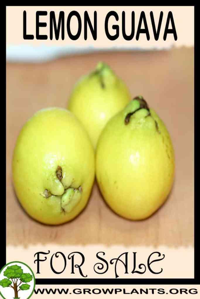 Lemon Guava for sale