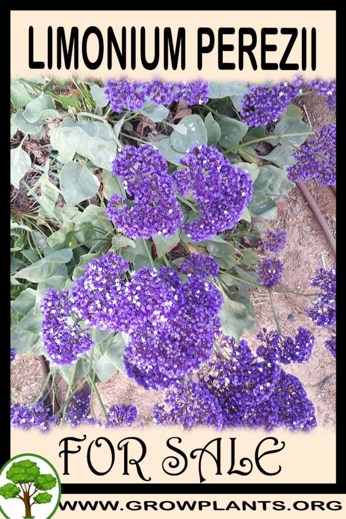 Limonium perezii for sale