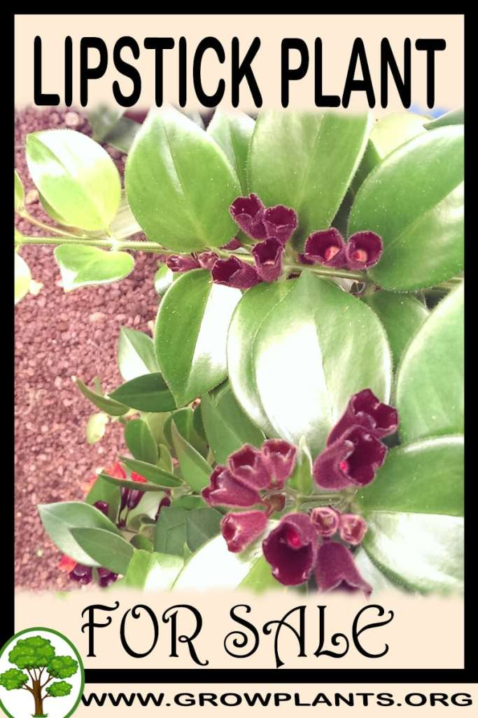 Lipstick plant for sale