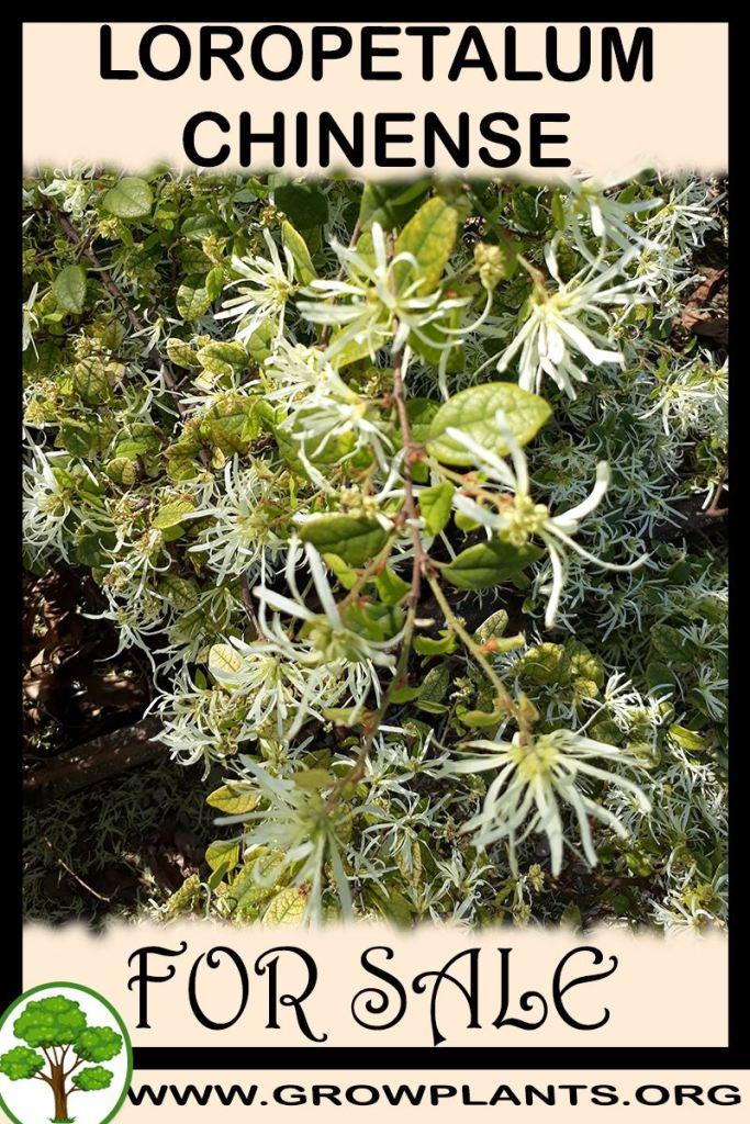 Loropetalum chinense for sale