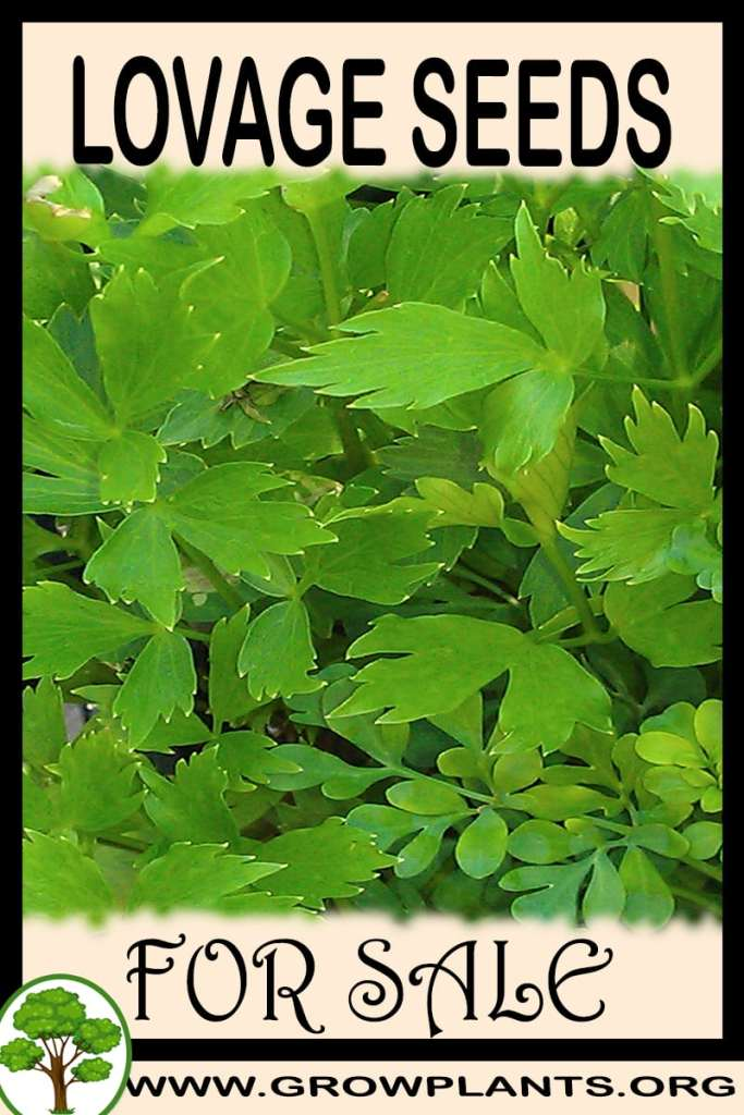 Lovage seeds for sale