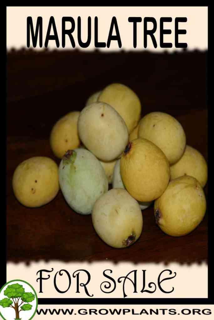 Marula tree for sale