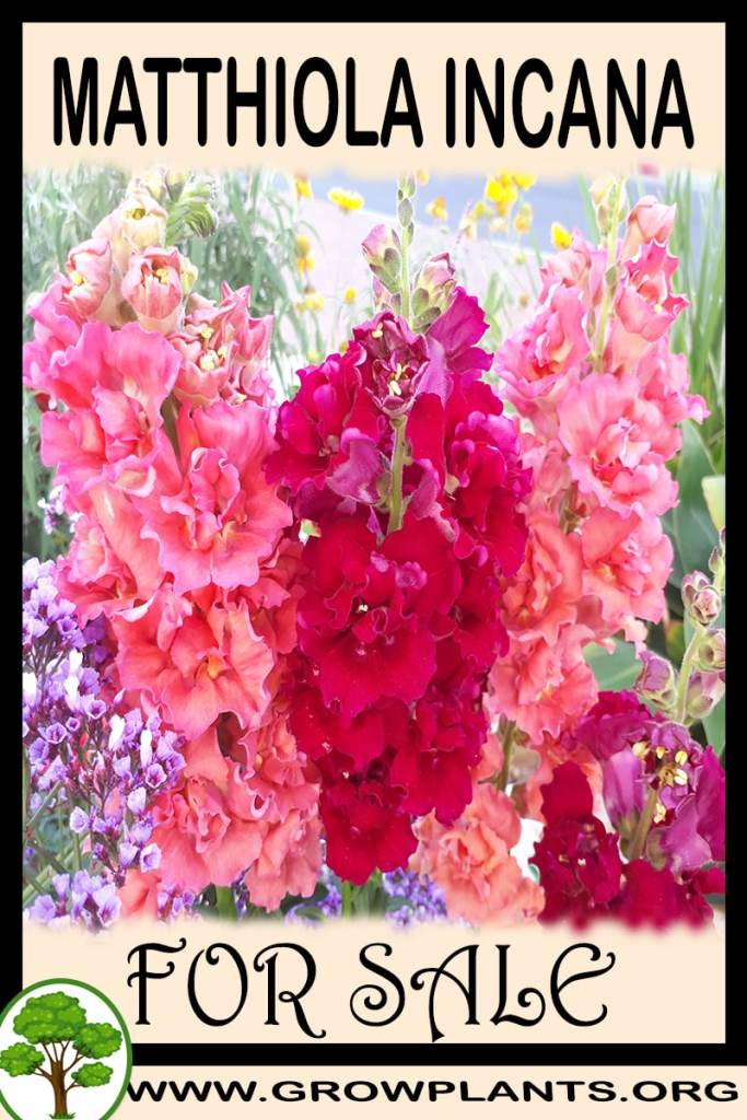 Matthiola incana for sale