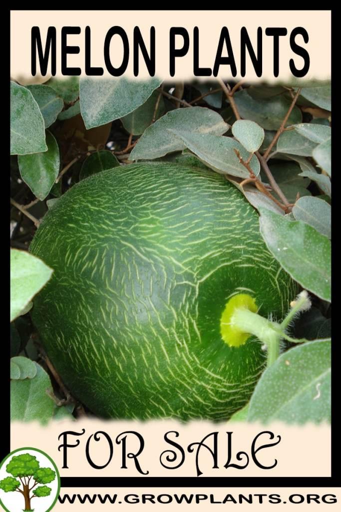Melon plants for sale