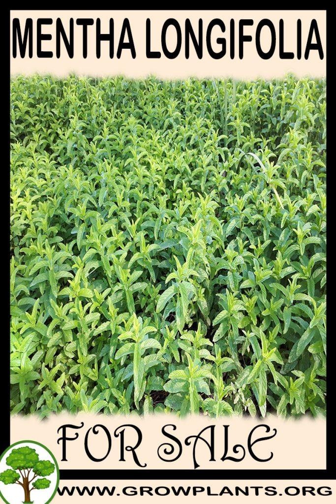 Mentha longifolia for sale