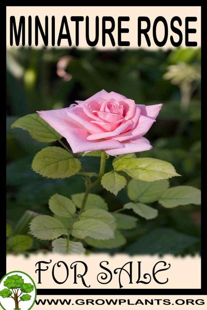 Miniature rose for sale