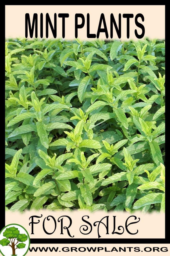 Mint plants for sale