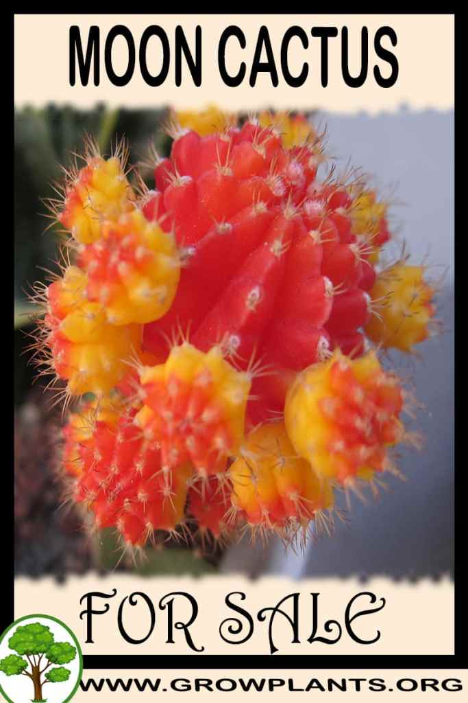 Moon cactus for sale