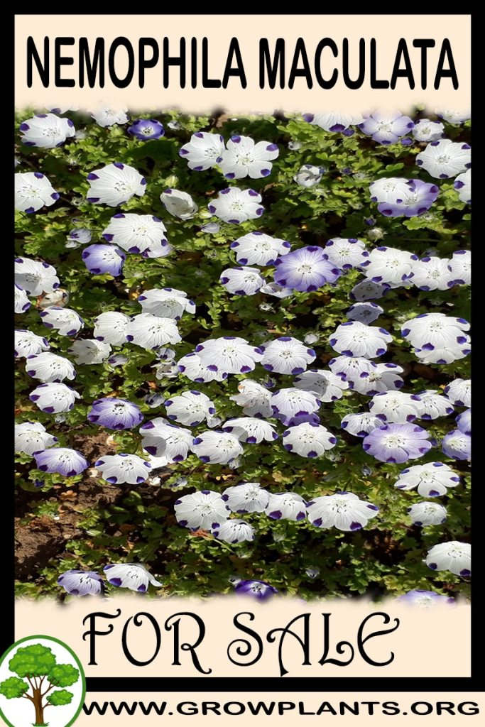Nemophila maculata for sale