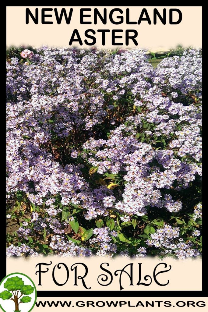 New England aster for sale
