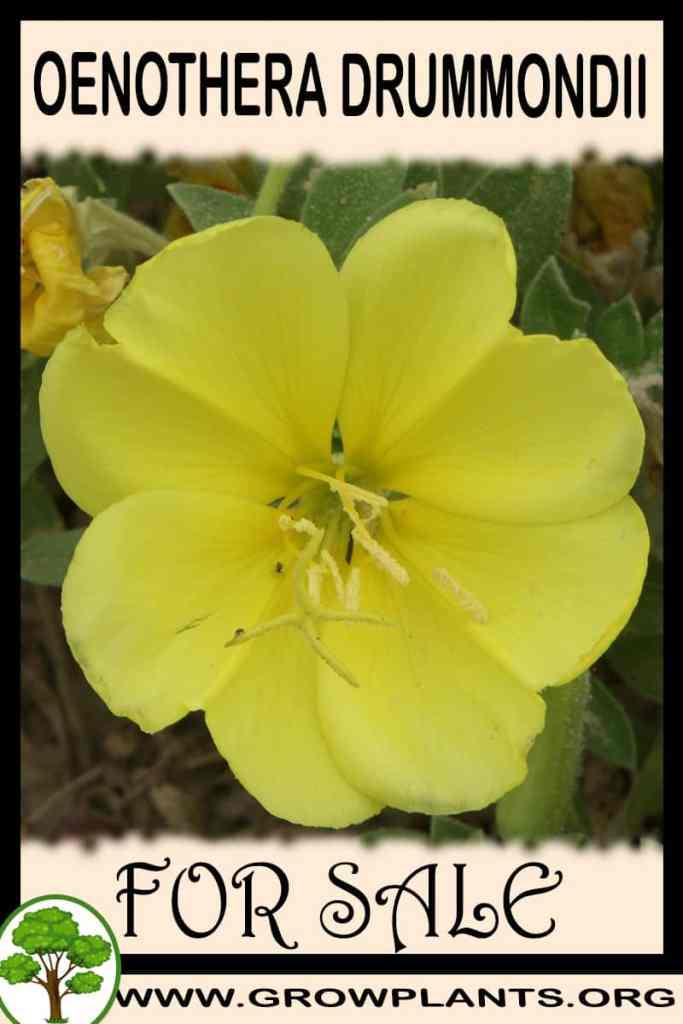 Oenothera drummondii for sale