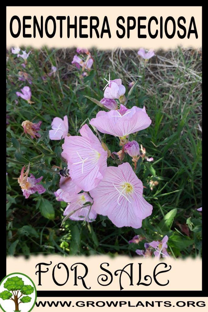 Oenothera speciosa for sale