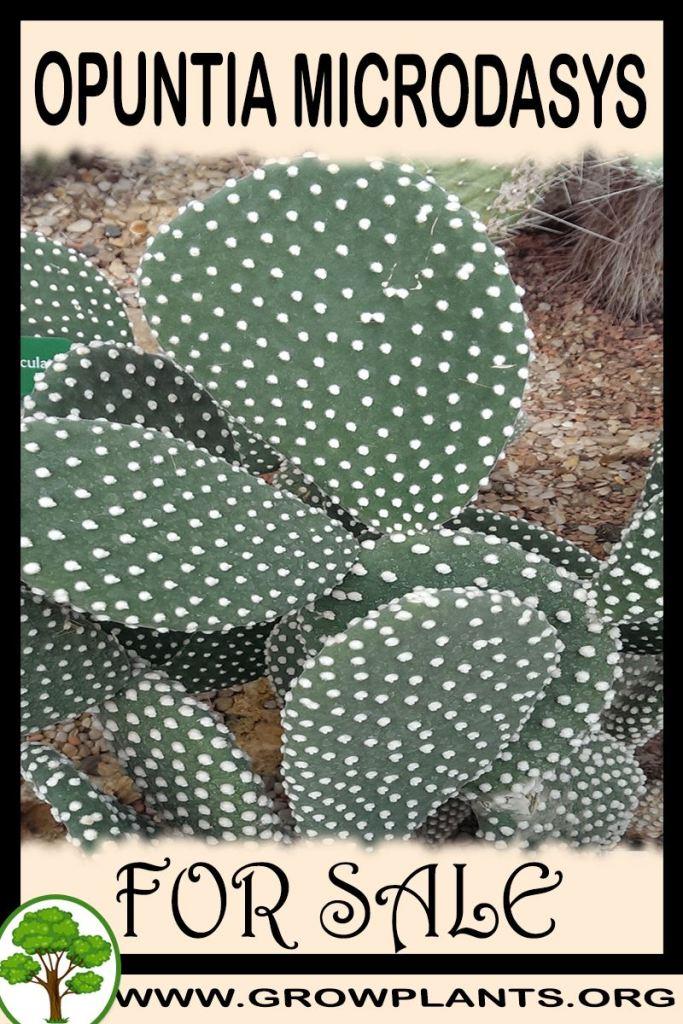 Opuntia microdasys for sale