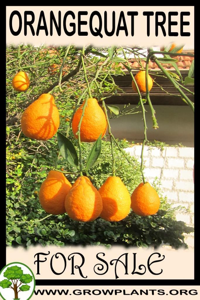 Orangequat tree for sale