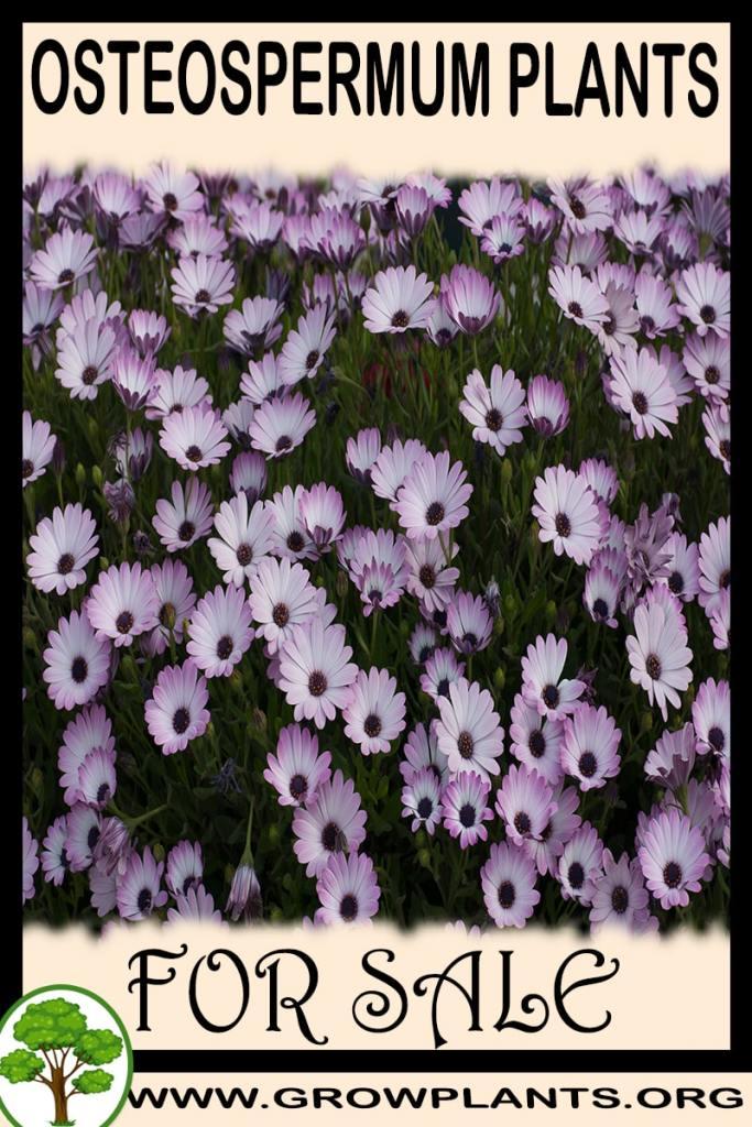 Osteospermum plants for sale