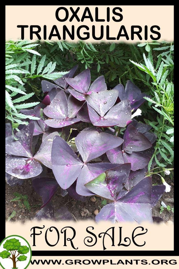 Oxalis triangularis for sale