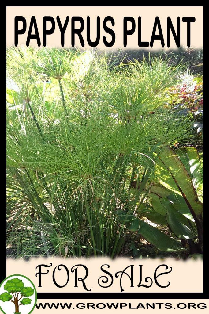 Papyrus plant for sale