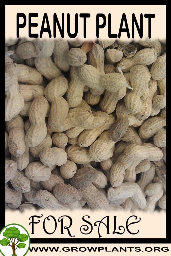 Peanut plant for sale